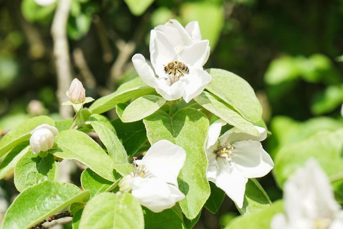Biene in Blüte, Ruinenstadt Butrint Albanien Reisen