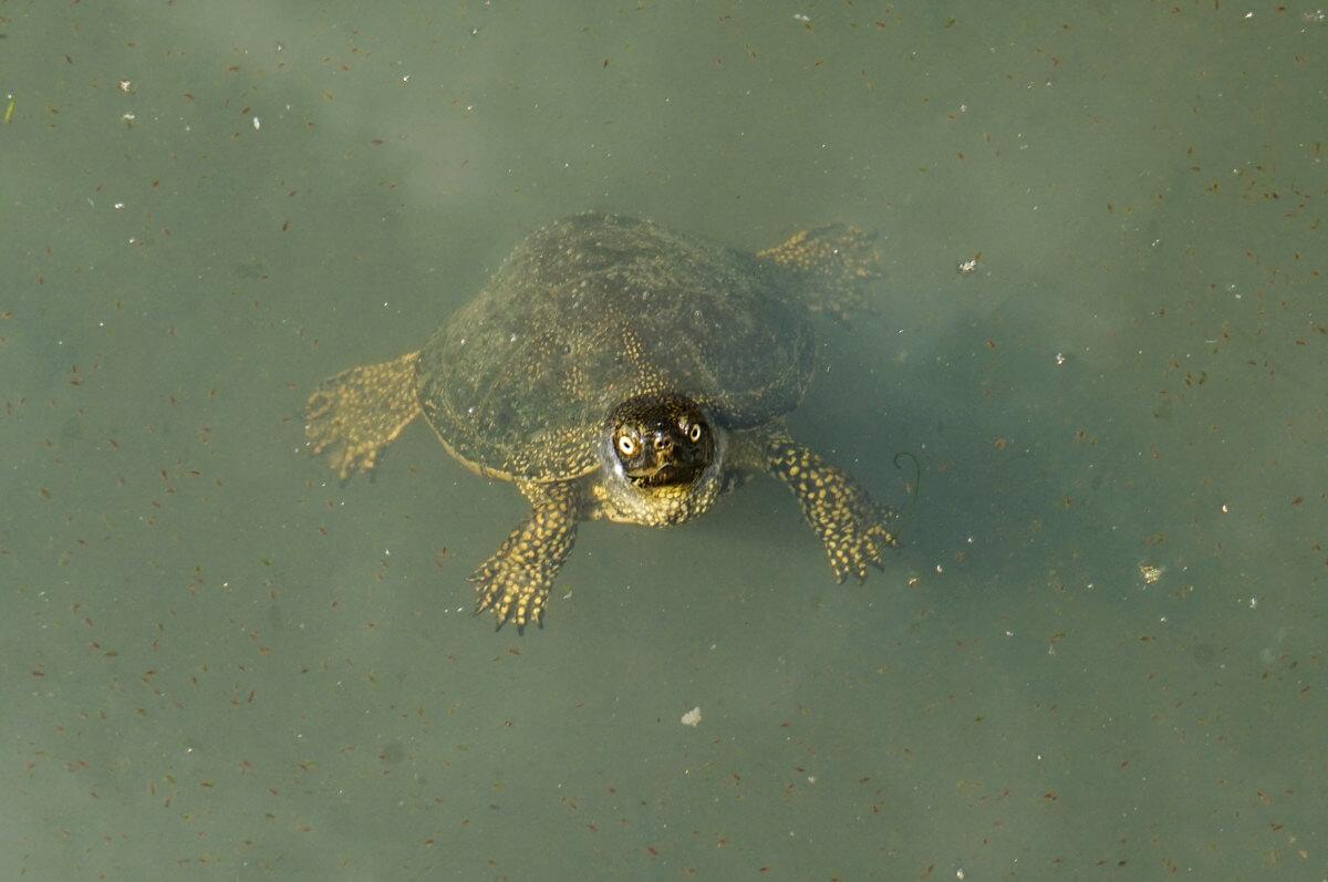 Schildkröte im Wasser, Ruinenstadt Butrint Albanien Reisen