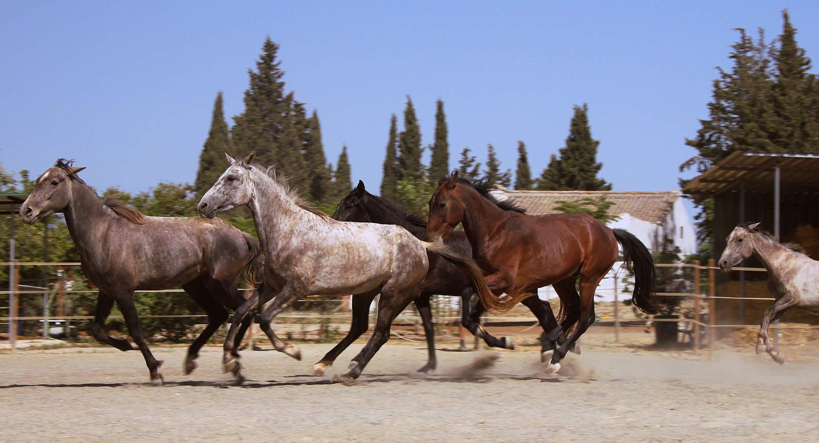 5 schon grössere Fohlen galloppieren auf Sandplatz - Freiwilligenarbeit
