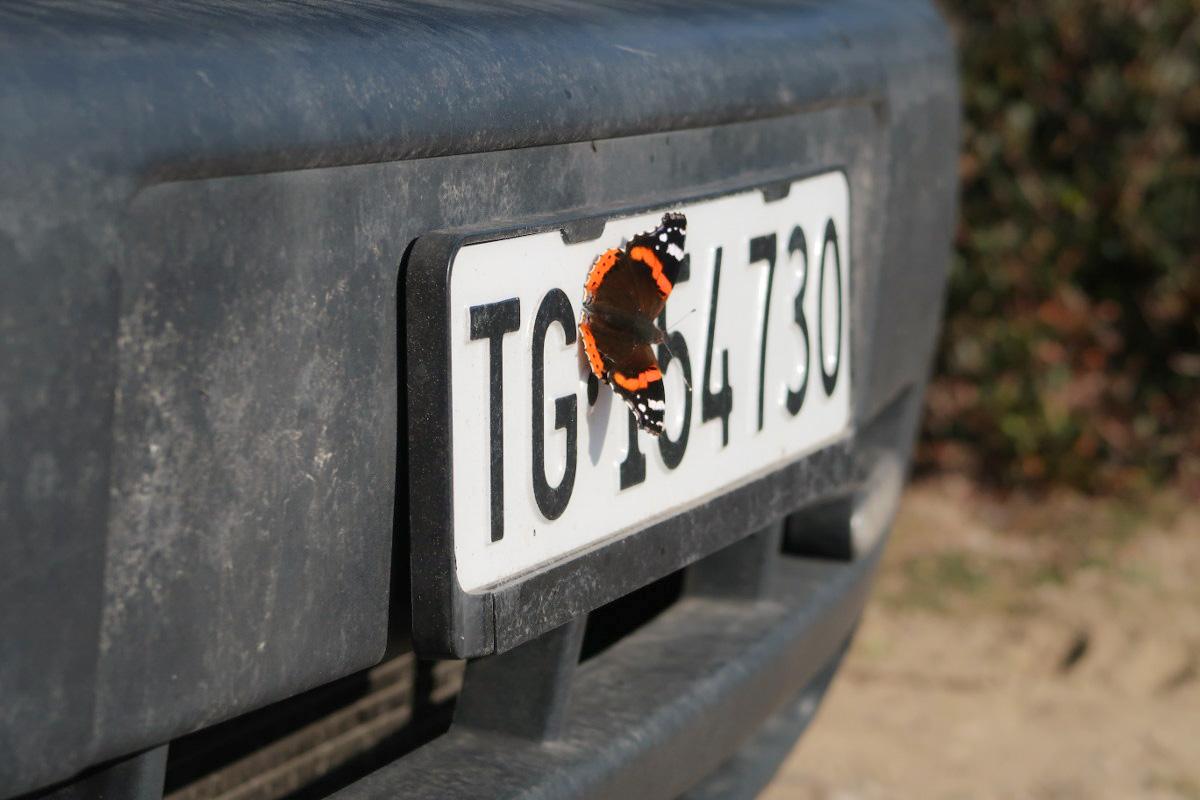 Schmetterling - Pfauenaug - auf Auto-Kontrollschild - Reisen in Italien