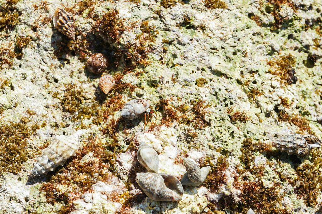 Einsiedlerkrebse in kleinen runden Häuschenmuscheln.