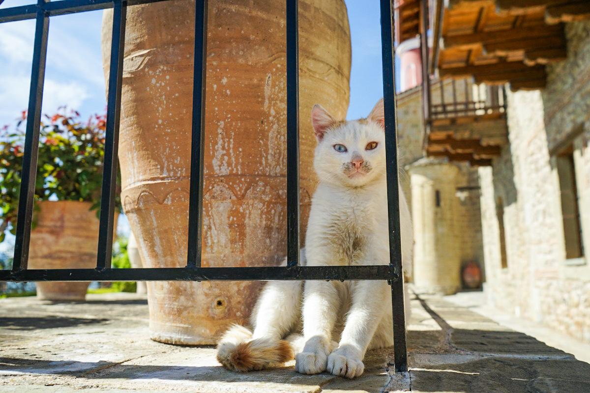 Katze mit zwei farbigen Augen - Meteora Klöster