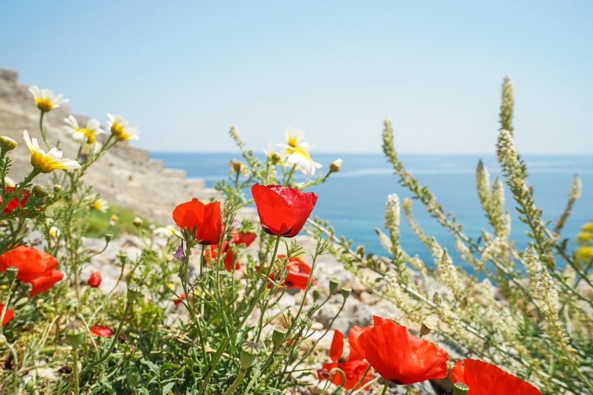 Mohn und Margeriten blühen, Hintergrund Meer - Monemvasia besichtigen