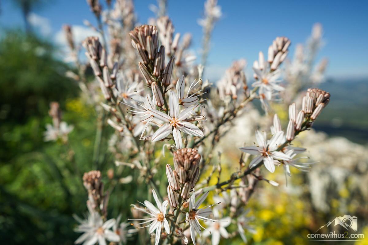 Stängel mit vielen weissen kleinen Blumen, Mystras, Frühling