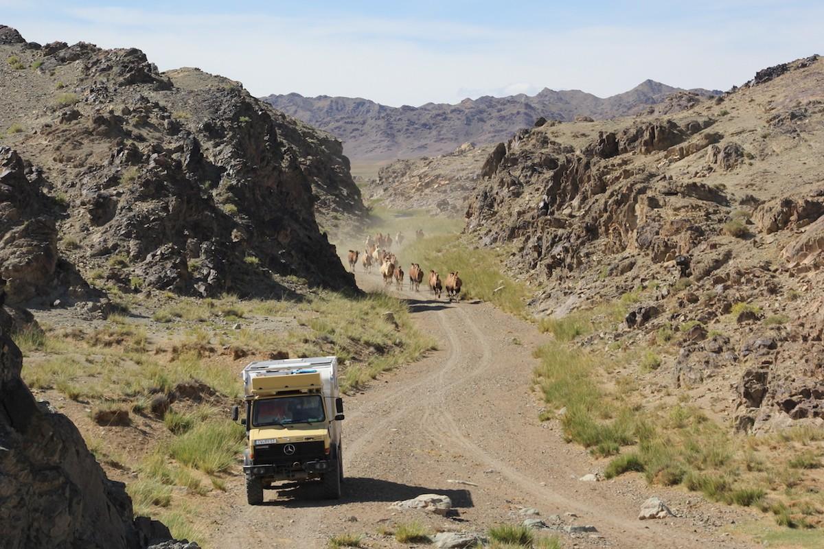 Kamel und Camper