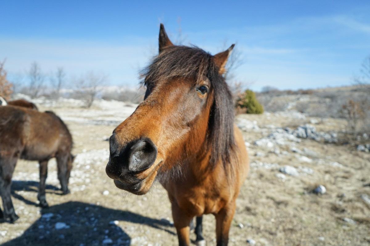 Pferd streckt Nase zu mir - Wildpferde in Bosnien-Herzegowina