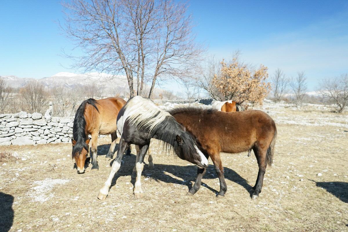 Beissen sich spielerisch in die Vorderbeine - Wildpferde in Bosnien-Herzegowina