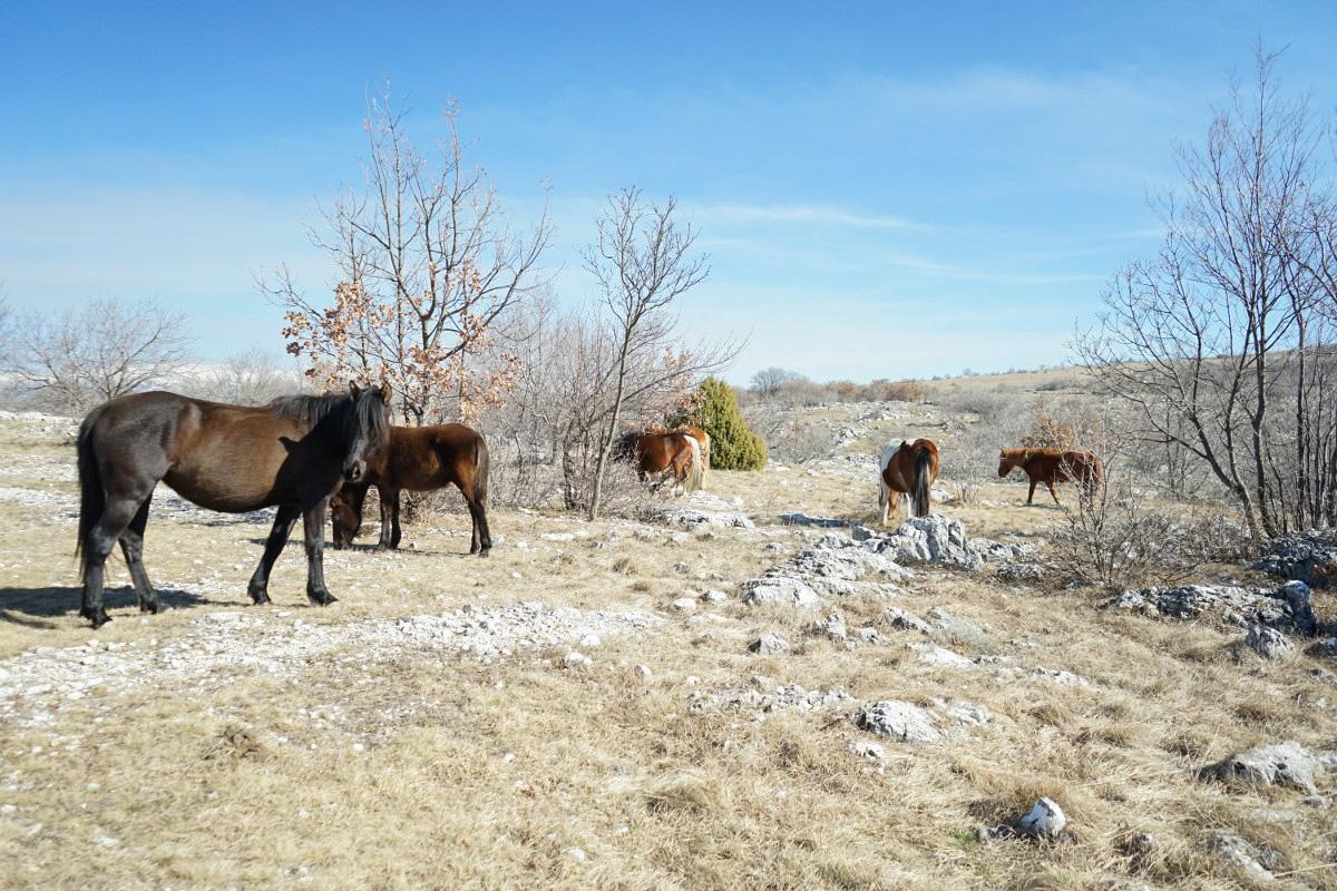 Pferde am grasen - Wildpferde in Bosnien-Herzegowina