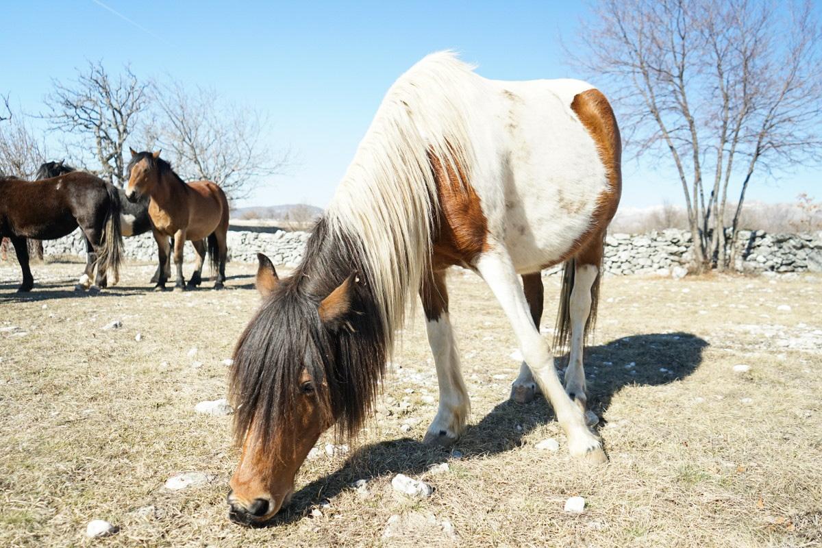 Weiss-Braun gescheckte Stute am Grasen mit dickem Bauch - Wildpferde in Bosnien-Herzegowina