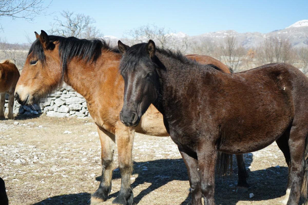 2 Pferde stehen da und beobachten - Wildpferde in Bosnien-Herzegowina