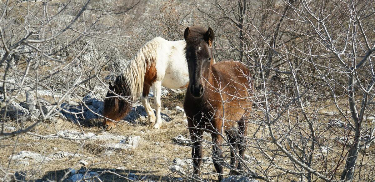 Fohlen guckt durch Gebüsche - Wildpferde in Bosnien-Herzegowina