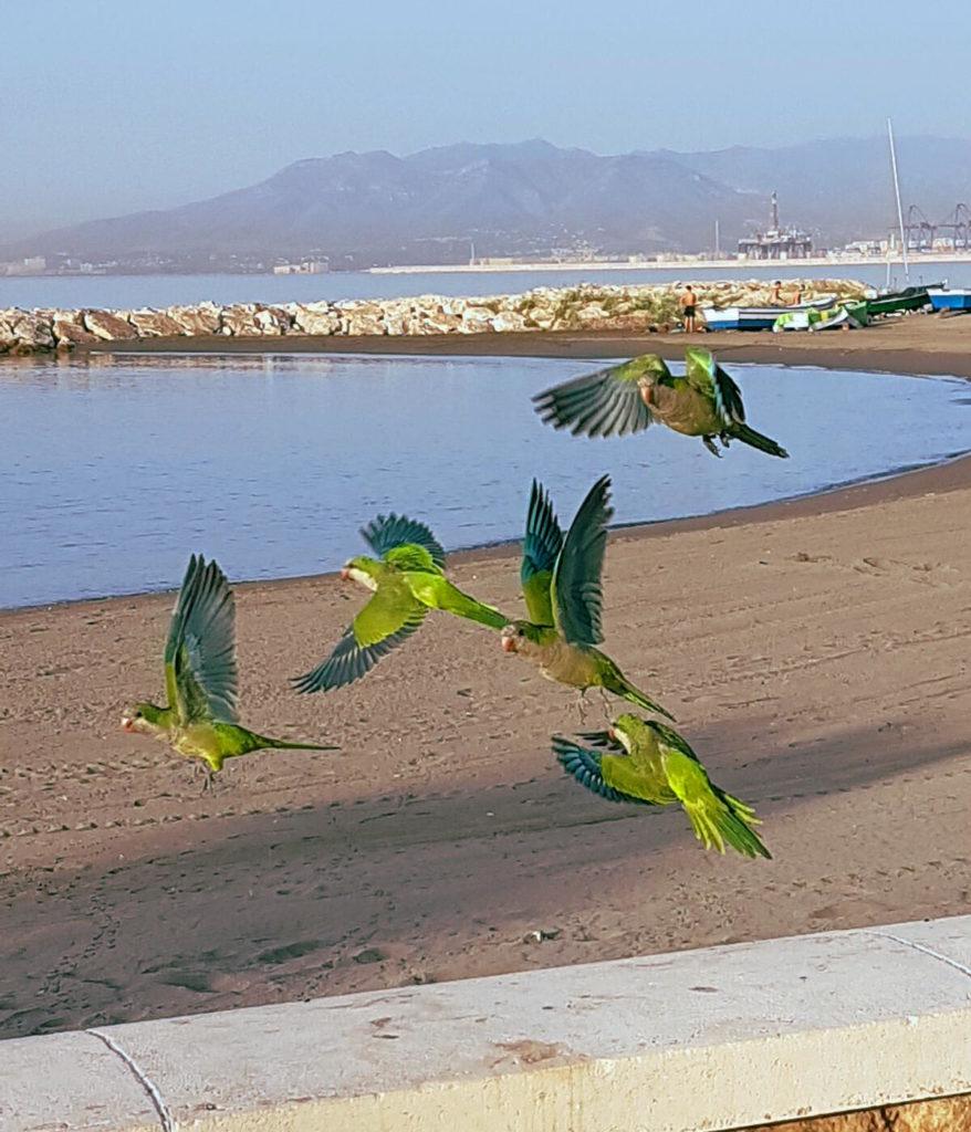 5 grün-blaue Papageien fliegen am Strand - Reisen in Andalusien