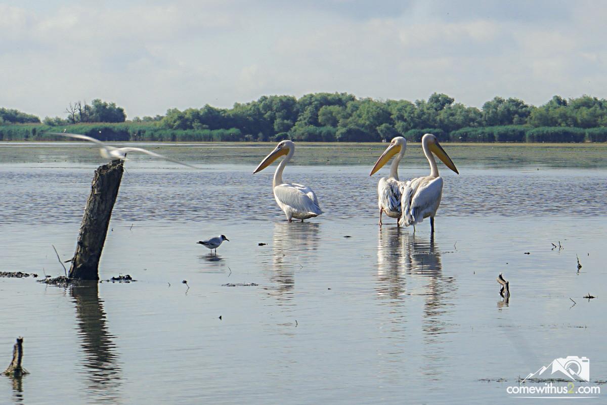 Pelikane im Donaudelta - Bootstour