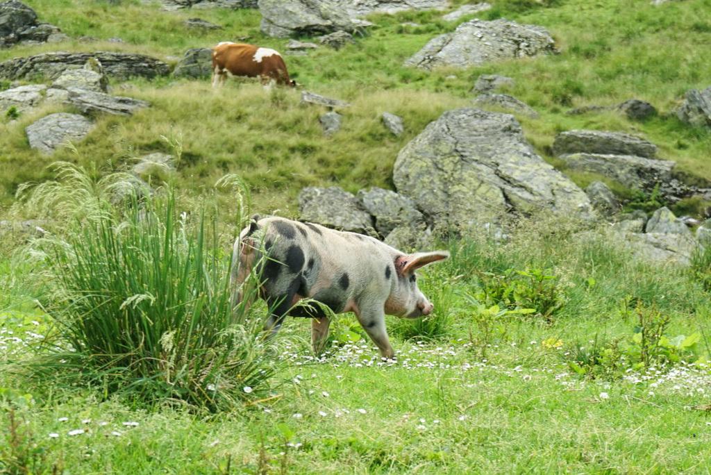 Transfăgărășan Rumänien: Sehenswürdigkeiten und Tiere