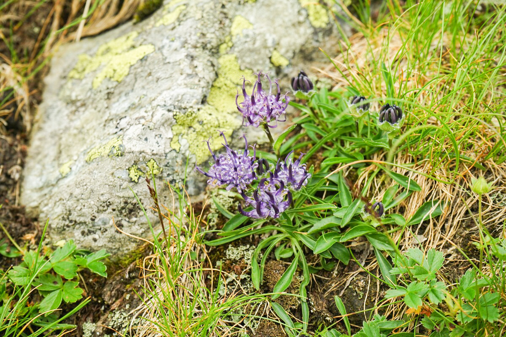 Blumen am Transfăgărășan in Rumänien - Öffnungszeiten
