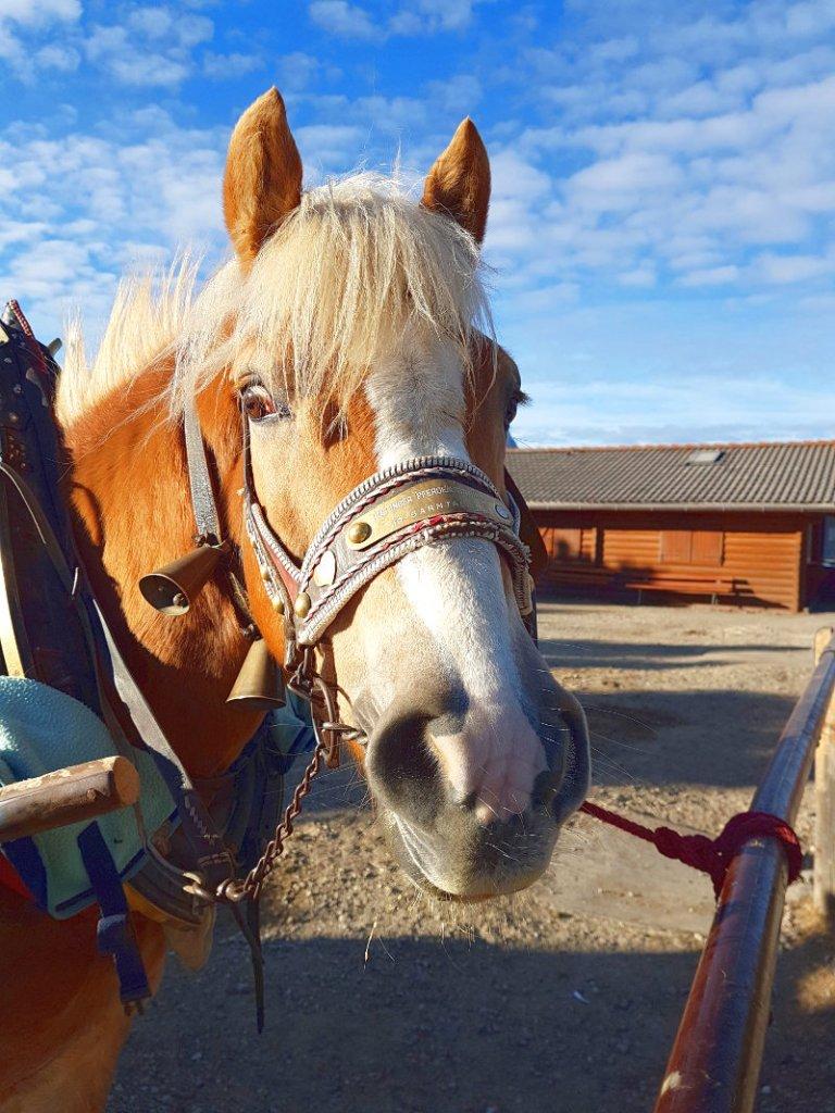 Pferdekopf mit breitem Beschlag auf Halfter