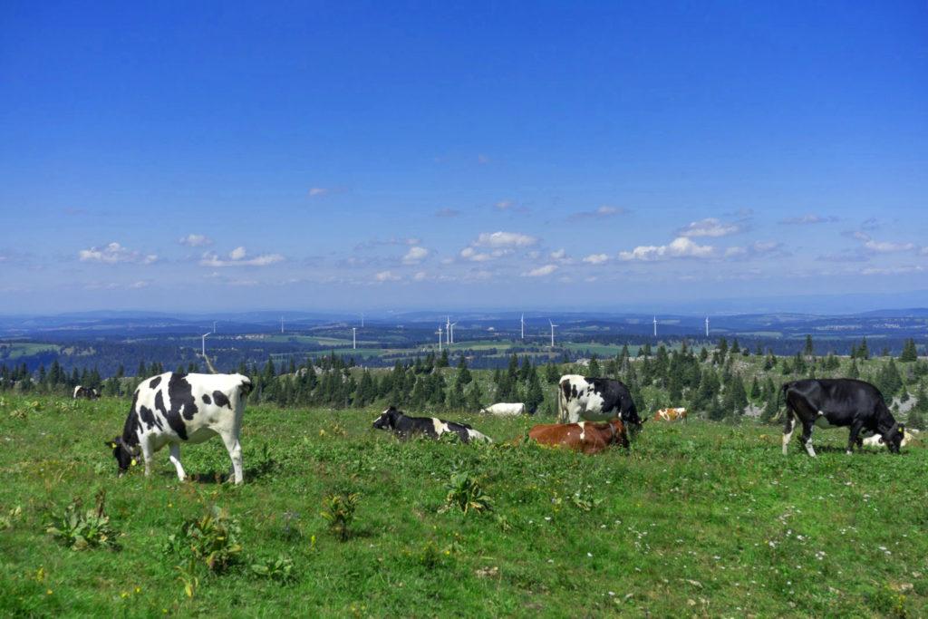 Kühe grasen, Blick in Ebene mit Windrädern - Wandern in der Schweiz / Kurztrip Schweiz