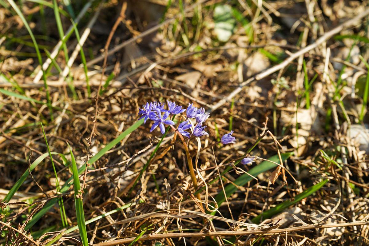 Krokusarttige violette Blume am Waldboden - Wandern in Montenegro, Virpazar, Skradar See