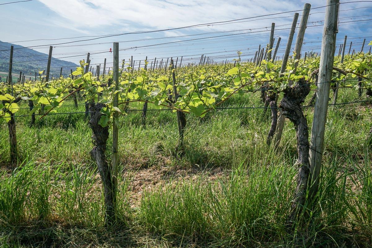 Weinweg Weinfelden: 9.7km durch die Reben