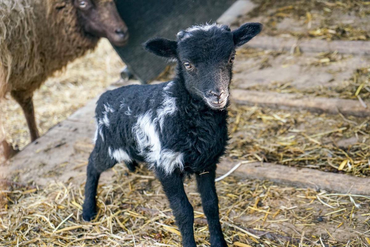Schafe vom Weingut Burkhart