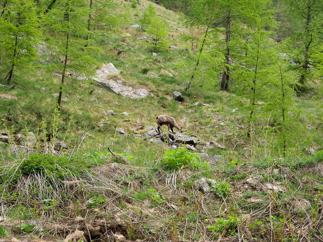 schönste Naturcampingplätze Italiens - Gämse auf Campingplatz